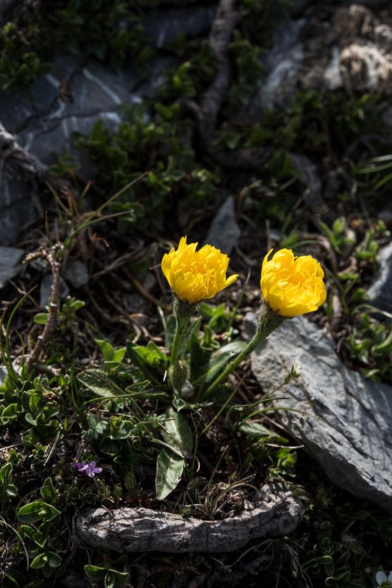 Hieracium alpinum agg.