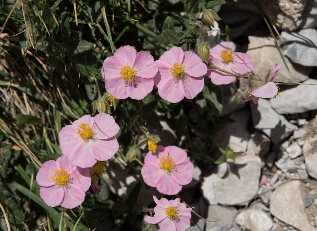 Helianthemum nummularium var. roseum