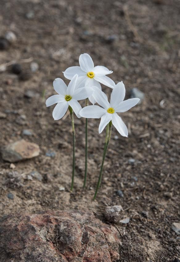 Narcissus serotiuns at Barrancos