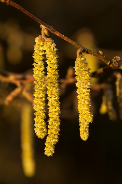 Corylus avellana catkins